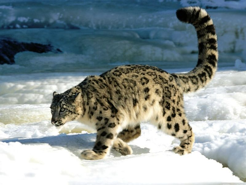 Calculation, Snow Leopard